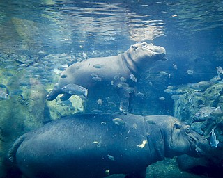 In this Tuesday, June 26, 2018 photo, Fiona, a baby Nile Hippopotamus, above, swims above her mother Bibi in their enclosure at the Cincinnati Zoo & Botanical Garden, in Cincinnati. The Cincinnati Zoo's globally famous premature hippo does more than help sell T-shirts, bobbleheads and ice cream. She is becoming a teaching tool in classrooms and libraries and subject of a series of books with the latest by the zoo's director Thane Maynard. (AP Photo/John Minchillo)