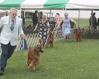 ROBERT K.YOSAY  | THE VINDICATOR..Best of Breed as Irish Setters shown make their last lap as the winner is selected..In celebration of its 27th anniversary, the Steel Valley Cluster will present four American Kennel Club all-breed dog shows Thursday through Sunday at the Canfield Fairgrounds..-30-