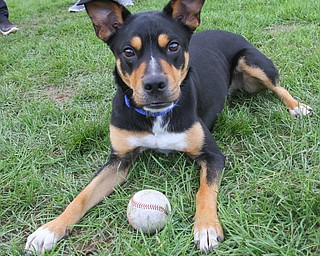 YSU BASEBALL DOG