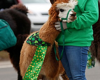 Char Arendas, a veterinarian and an advisor for the 4-H Club's Lucky Llamas in Lowellville, walks with Mask the alpaca in the Mahoning Valley St. Patrick's Day Parade in Boardman on Sunday afternoon. EMILY MATTHEWS | THE VINDICATOR