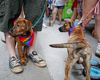 Drogo, left, and Torgo, the mixed breed foster dogs from All About the Pawz, a dog shelter in Austintown, greet people at the 11th annual Pride parade and festival in downtown Youngstown on Saturday afternoon. EMILY MATTHEWS   THE VINDICATOR