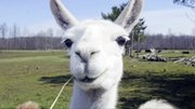 Debbie Arendas has more than 50 llamas on her ranch in Lowellville, OH.